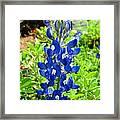 Texas Bluebonnet Framed Print