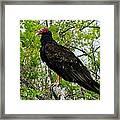 Texas Buzzard - Turkey Vulture Framed Print