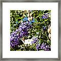 Texas Mountain Laurel Sophora Flowers And Mescal Beans Framed Print