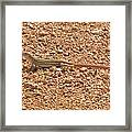 Texas Striped And Spotted Whiptail Lizard Framed Print