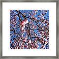 The Cherry Blossons Framed Print