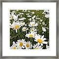 The Land Of White Daisies Framed Print