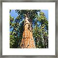 The President - Very Large And Old Sequoia Tree At Sequoia National Park. Framed Print