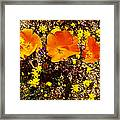 Three California Poppies Among Goldfields In Antelope Valley California Poppy Reserve Framed Print
