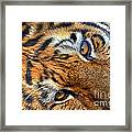 Tiger Peepers Framed Print