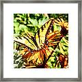 Tiger Swallowtail On Yellow Wildflower Framed Print