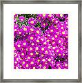 Tiny Dancer - Colorful Midday Flowers Lampranthus Amoenus Flower In Bloom In Spring. Framed Print