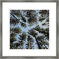 Towering White Pines Framed Print