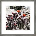Trichocereus Cactus Flowers Framed Print