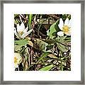 Trio Of Bloodroot Flowers Framed Print