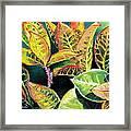 Tropical Colorful Croton Leaves Framed Print by Prashant Shah
