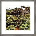 Tuckamore At Green Point Coastal In Gros Morne Np-nl Framed Print