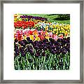 Tulip Field 1 Framed Print