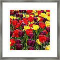 Tulip Fields Framed Print