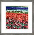 Tulipomania Framed Print by Benjamin Yeager