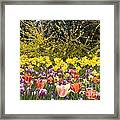 Tulips At Dallas Arboretum V32 Framed Print