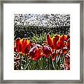 Tulips At Dallas Arboretum V41 Framed Print