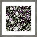 Tulips At Dallas Arboretum V43 Framed Print