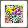 Tulips At Dallas Arboretum V65 Framed Print