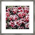 Tulips At Dallas Arboretum V70 Framed Print