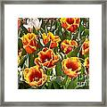 Tulips At Dallas Arboretum V71 Framed Print