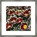 Tulips At Dallas Arboretum V93 Framed Print