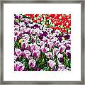 Tulips Field Framed Print