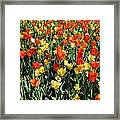Tulips - Field With Love 50 Framed Print