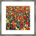 Tulips - Field With Love 51 Framed Print