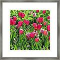 Tulips - Field With Love 54 Framed Print