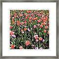 Tulips - Field With Love 55 Framed Print
