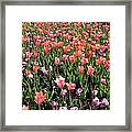 Tulips - Field With Love 56 Framed Print