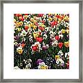 Tulips - Field With Love 57 Framed Print