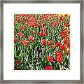 Tulips - Field With Love 61 Framed Print