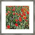 Tulips - Field With Love 62 Framed Print