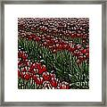 Tulips Fields Are Forever Framed Print