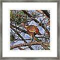 Turkey In A Tree Framed Print by Al Powell Photography USA