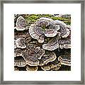 Turkey Tail Bracket Fungi -  Trametes Versicolor Framed Print