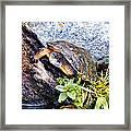 Turtle 1 Framed Print