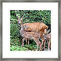 Twin Fawns And Mother Deer Framed Print