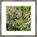 Two Tailed Swallowtail Framed Print