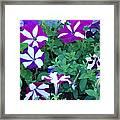 Variegated Petunias Framed Print