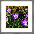 Vibrant Crocuses Framed Print by Karol Livote