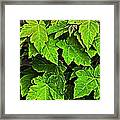 Vibrant Young Maples - Acer Framed Print