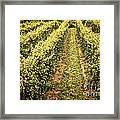 Vines Growing In Vineyard Framed Print