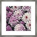 Violet Mums Framed Print