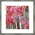 Virginia Creeper Fall Leaves And Berries Framed Print