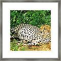Waiting For Baby Cheetahs Framed Print