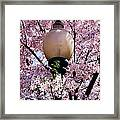 Washington Cherry Blossoms And A Lantern Framed Print