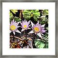 Water Lilies Water Drop And Reflection In Water Framed Print